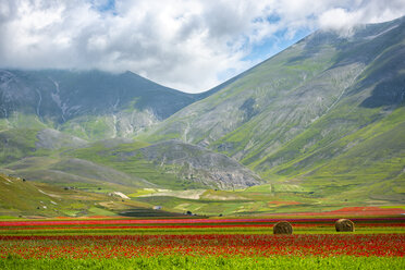 Italy, Umbria, Sibillini National Park, Blooming flowers and lentils on plateau Piano Grande - LOMF00765