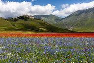 Italy, Umbria, Sibillini National Park, Blooming flowers on Piano Grande di Castelluccio di Norcia - LOMF00771