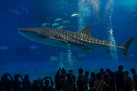 Japan, Okinawa, Ocean Expo Park, Whaleshark in the Churaumi Aquarium - RUN00269