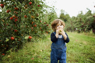Portrait of baby boy eating apple while standing on grassy field at orchard - CAVF56216