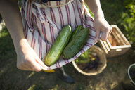 Midsection of woman holding cucumbers in textile while standing at community garden - CAVF56240