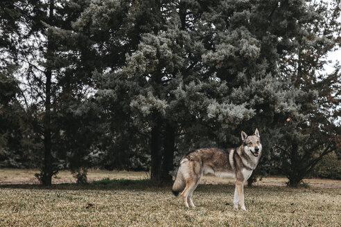 Full length of wolf standing against trees on field - CAVF56489