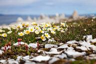 Arctic poppy flowers in Scandinavia - INGF08068