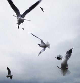 Gull flying - WWF04530