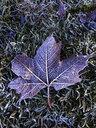 Maple leaf - WWF04536