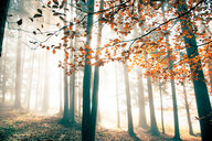 Trees in forest against sky during autumn. - INGF08301