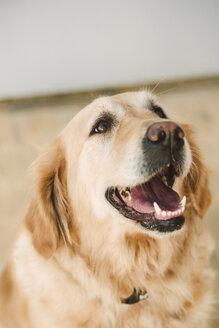 Golden retriever dog portrait - RAEF02259