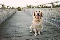 Portrait of a golden retriever dog sitting on wooden bridge - RAEF02265