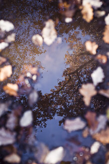 Reflection of trees in puddle with autumn leaves - CZF00338