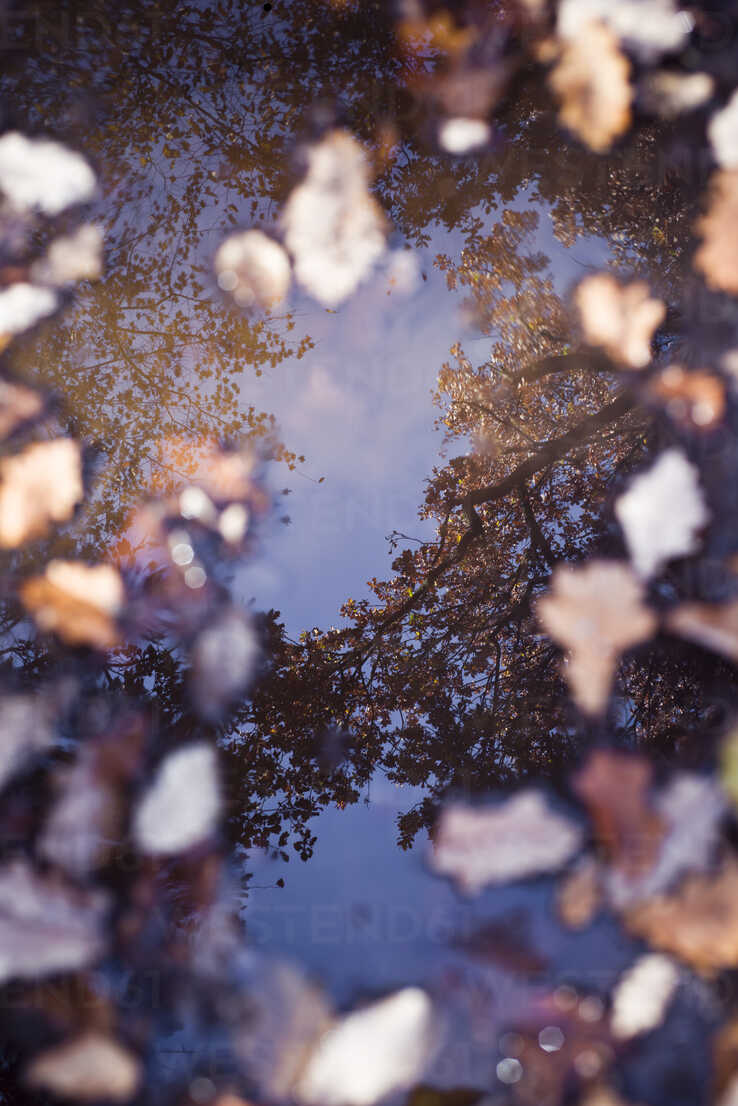 Reflection of trees in puddle with autumn leaves - CZF00338 - Canan Czemmel/Westend61