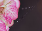 Close up of water droplets on a spiders web hanging off a pink flower - INGF08361