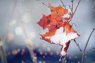 Close-up of wet maple leaves with snow - INGF08496
