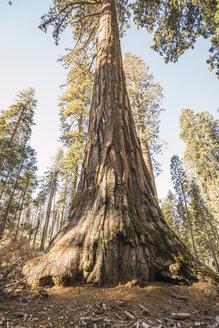 USA, California, Yosemite National Park, Mariposa, sequoia tree - KKAF03045