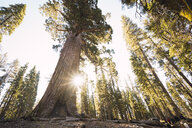 USA, California, Yosemite National Park, Mariposa, sequoias - KKAF03048