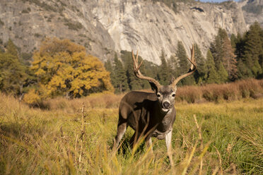 USA, California, Yosemite National Park, portrait of a deer on a field - KKAF03063
