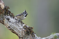 Crested tit on branch - MJOF01618