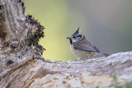 Crested tit on tree trunk - MJOF01621