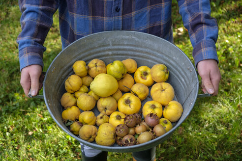 Young man holding zinc tub with harvested quinces and medlars, partial view - LBF02286