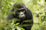 Close-up of chimpanzee looking down while standing in forest - CAVF58218