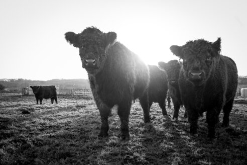 Black and white photo of cows standing on field against clear sky - INGF08731