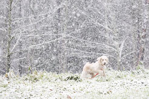 Dog running on field during snowfall - CAVF58361