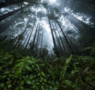 Low angle view of plants and trees growing at Jedediah Smith Redwoods State Park during foggy weather - CAVF58634