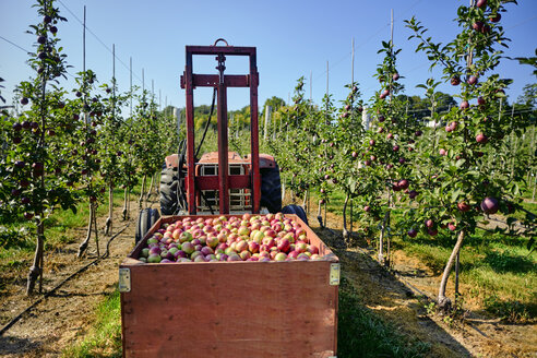 Apples in tractor trailer against clear sky at orchard - CAVF58949