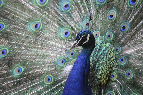 Close-Up of peacock with fanned feathers - CAVF58958