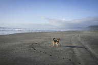 Dog standing at beach against sky during sunset at Redwood National and State Parks - CAVF58985