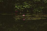 Lotus water lily growing in lake against trees - CAVF59096