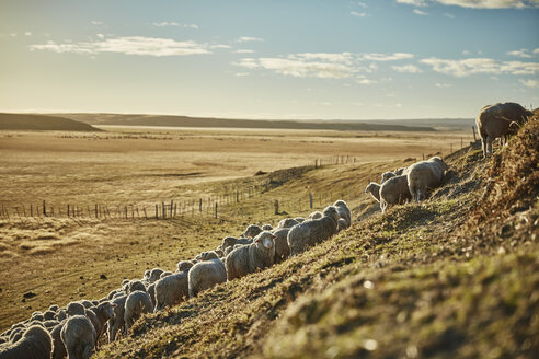 Chile, Tierra del Fuego, flock of sheep on pasture of an Estancia - SSCF00259