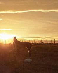 Chile, Tierra del Fuego, Porvenir, horses on paddock at sunset - SSCF00265