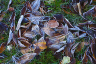 Frost-covered autumn leaves on a meadow - JTF01149