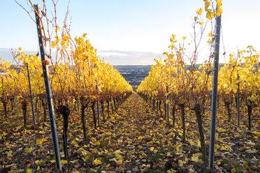 Germany, Wuerzburg, vineyards at Wuerzburger Stein in autumn - NDF00836