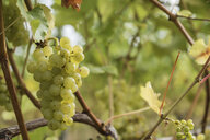 Bunch of fresh white grapes growing at vineyard - CAVF59258