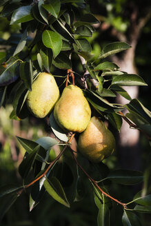 Williams pears at tree - EVGF03392