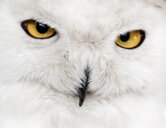 Close-up portrait of owl with yellow eyes - INGF09478