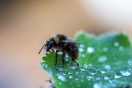 Close-up shot of a honey bee on a leaf in the wild - INGF09774