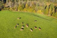 Germany, Bavaria, Bad Toelz, Aerial view of cows on meadow - SIEF08210