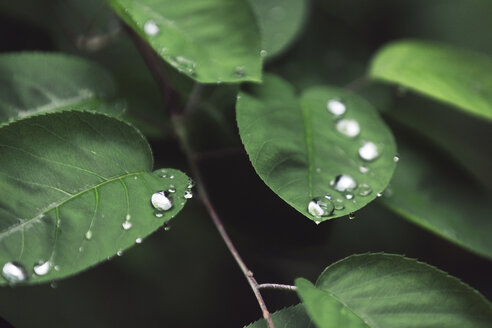 Close-up of dew drops on leaves - CAVF60484