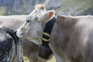 Germany, Allgaeu, brown cattle, cow - WIF03701