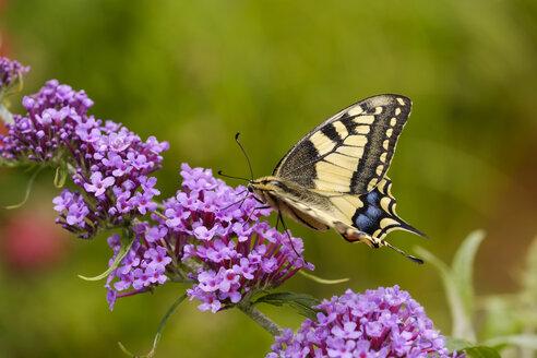 Swallowtail, Papilio machaon, on flower of butterfly bush, Buddleja davidii - SIEF08238