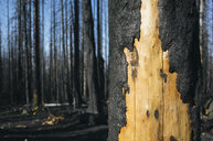 Detail of burned tree and forest from the Norse Peak fire, near Mt. Rainier National Park, Washington - MINF09801