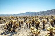 USA, California, Los Angeles, Joshua Tree National Park in sunshine - DAWF00861