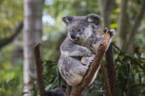 Australia, Brisbane, Lone Pine Koala Sanctuary, portrait of koala perching  on tree trunk - RUNF00427