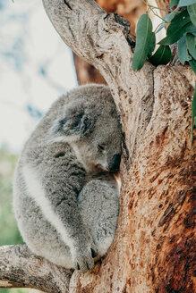 Wildlife shot of a koala resting in a tree - INGF10404