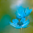 Close-up shot of a blue flower - INGF10637