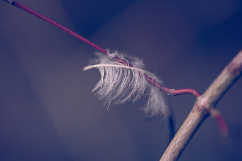 Close up shot of a light feather on a branch - INGF10685