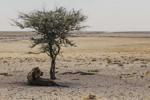 Namibia, Etosha National Park, Lion resting under a tree - LHPF00217