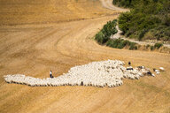 Sheep in a field - INGF10980